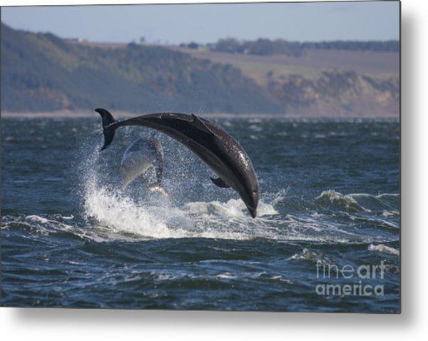 Bottlenose Dolphins - Scotland  #25 Metal Print