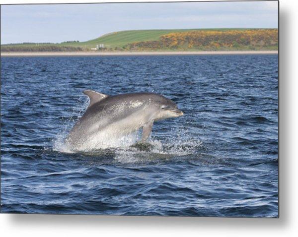 Bottlenose Dolphin - Scotland  #32 Metal Print