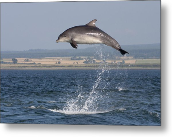 High Jump - Bottlenose Dolphin  - Scotland #42 Metal Print