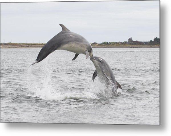 Bottlenose Dolphins - Scotland #1 Metal Print