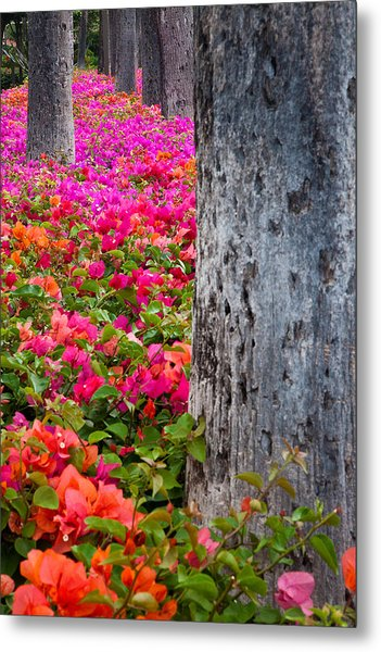 Bougainvillea Forever Metal Print by Eggers Photography