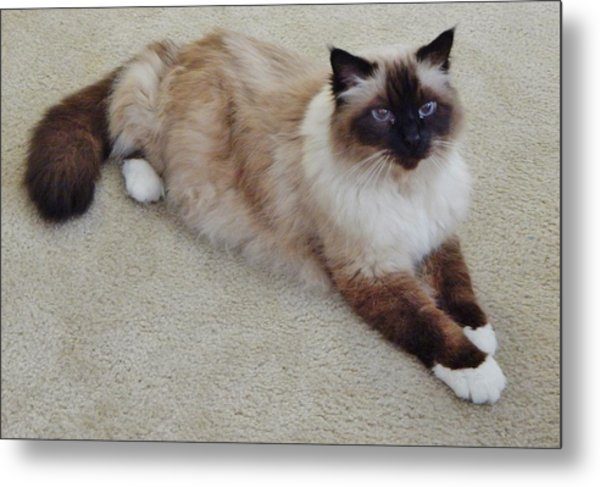 Brassy Our Birman Metal Print