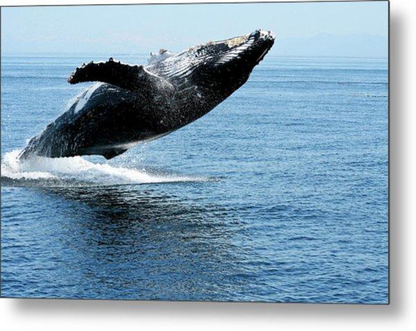 Breaching Humpback Whales Happy-2 Metal Print