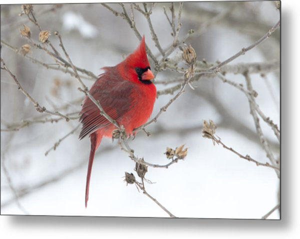 Bright Splash Of Red On A Snowy Day Metal Print