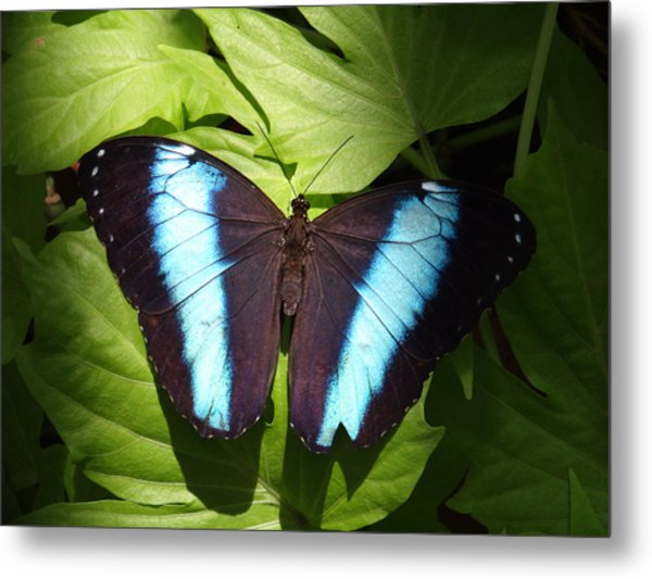 Brillant Blue Butterfly Metal Print by Nicole I Hamilton