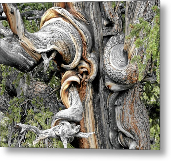 Bristlecone Pine - 'i Am Not Part Of History - History Is Part Of Me' Metal Print