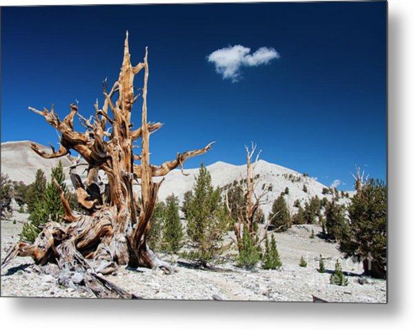 Bristlecone Pine - Pinus Longaeva Metal Print