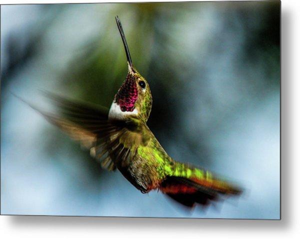 Broad-tailed Hummingbird In Flight Metal Print