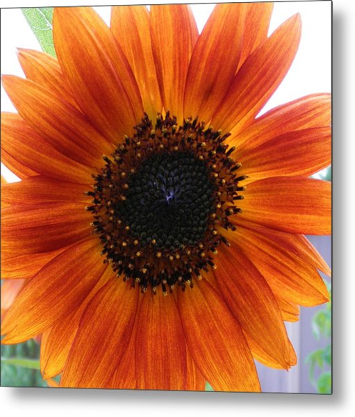 Bronze Sunflower No 2 Metal Print by Jeanette Oberholtzer