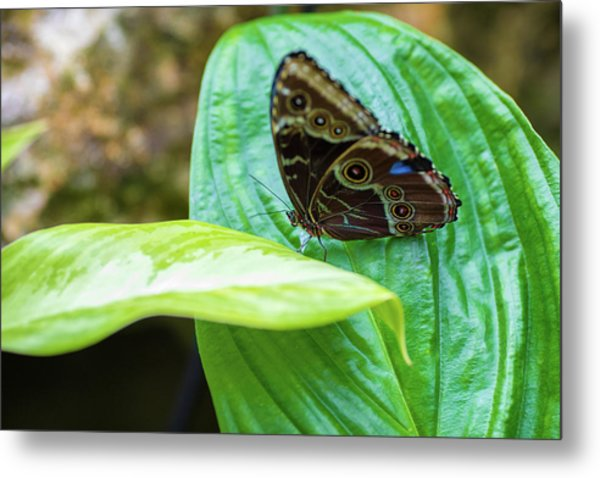 Brown And Blue Butterfly Metal Print