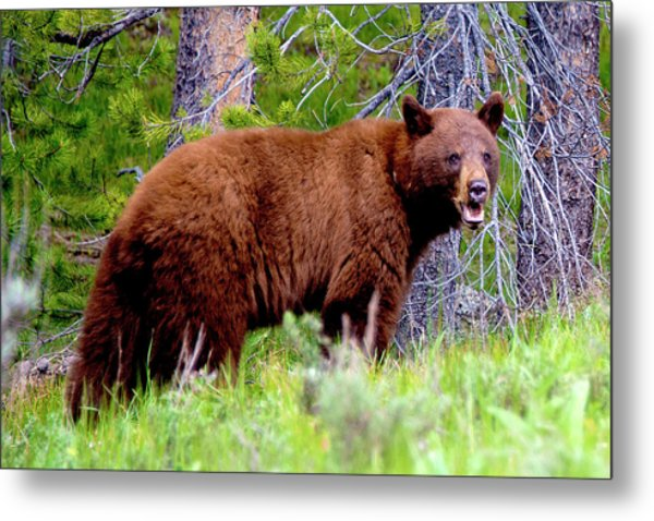 Brown Bear Metal Print