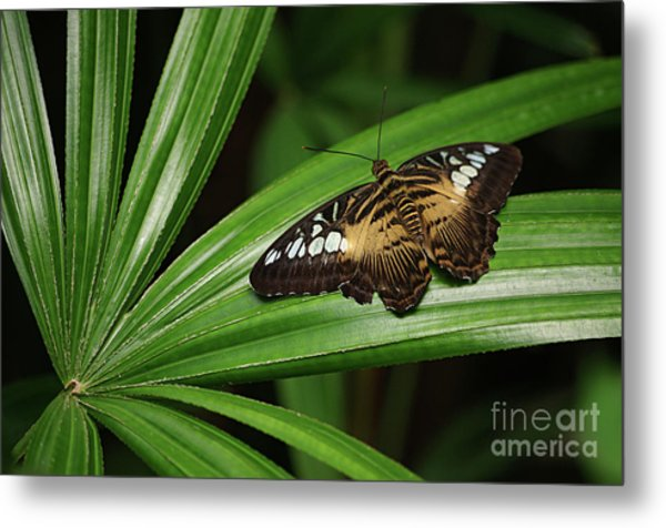 Brown Clipper Butterfly -parthenos Sylvia- On Frond Metal Print