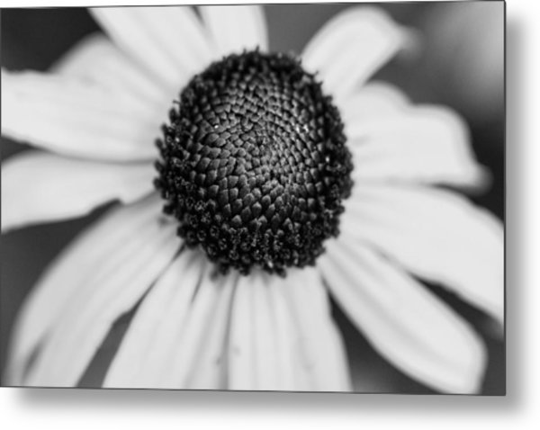 Brown Eyed Susan Metal Print