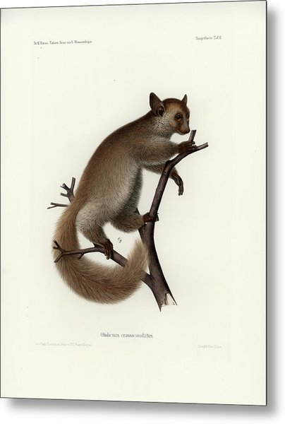 Brown Greater Galago Or Thick-tailed Bushbaby Metal Print