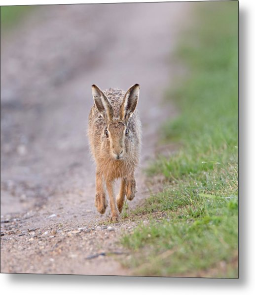 Brown Hare Approaching Down Track Metal Print