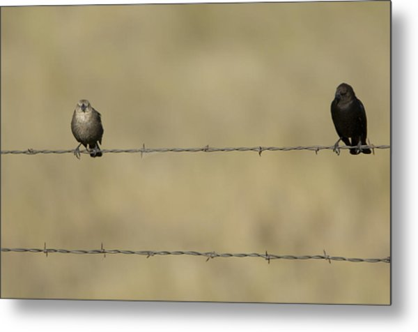 Brown-headed Cowbirds Perch On A Barbed Metal Print