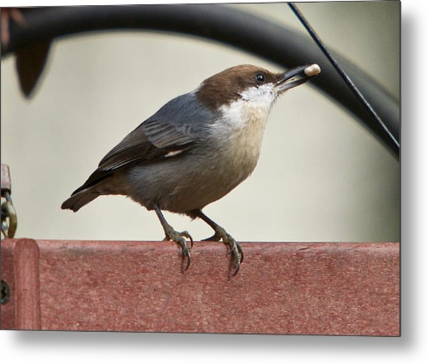 Metal Print featuring the photograph Brown-headed Nuthatch by Robert L Jackson