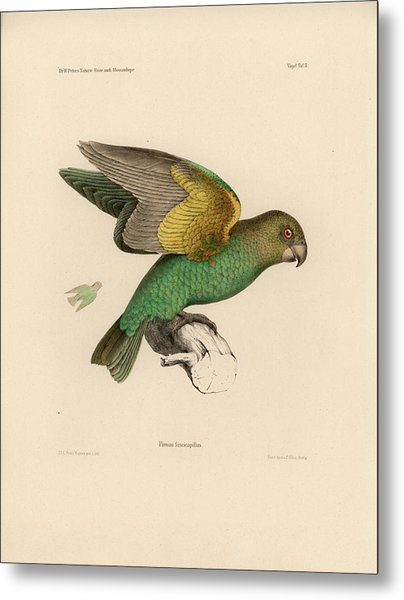 Brown-headed Parrot, Piocephalus Cryptoxanthus Metal Print