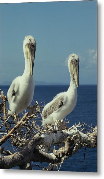 Brown Pelican Chicks In Nest  Metal Print