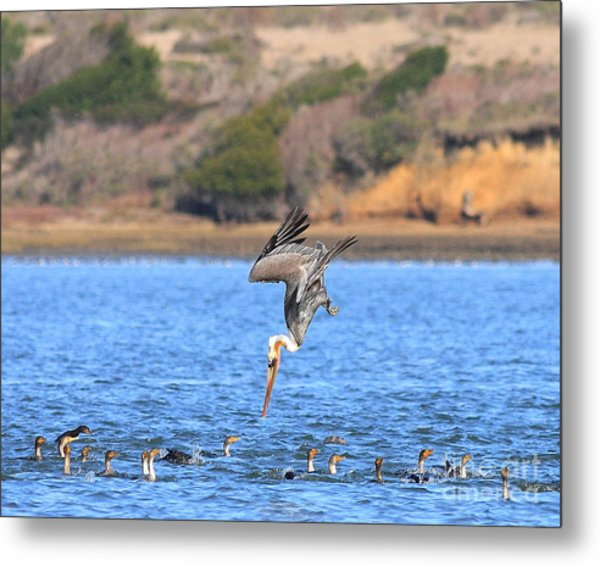 Brown Pelican Diving Metal Print by Wingsdomain Art and Photography