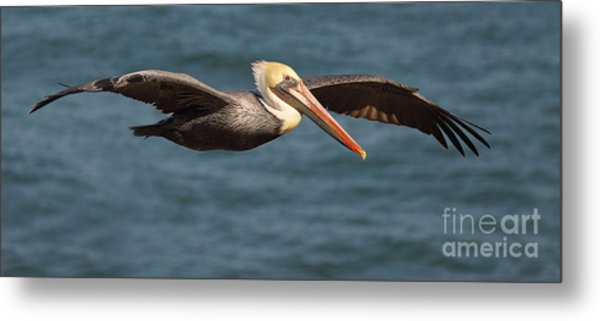 Brown Pelican Flying By Metal Print
