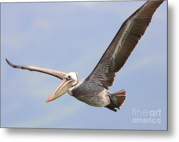 Brown Pelican Flying Metal Print
