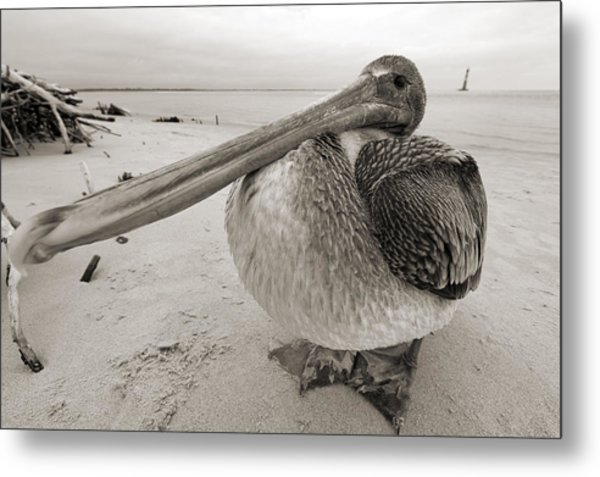 Brown Pelican Folly Beach Morris Island Lighthouse Close Up Metal Print