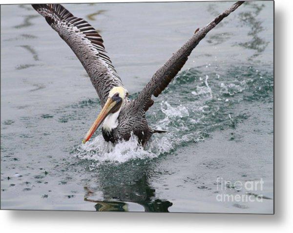 Brown Pelican Landing On Water . 7d8372 Metal Print