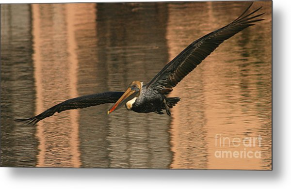 Brown Pelican On A Sunset Flyby Metal Print