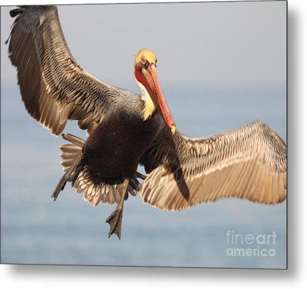 Brown Pelican Putting On The Brakes Metal Print
