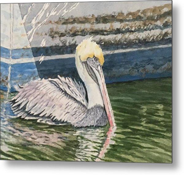 Brown Pelican Swimming Metal Print