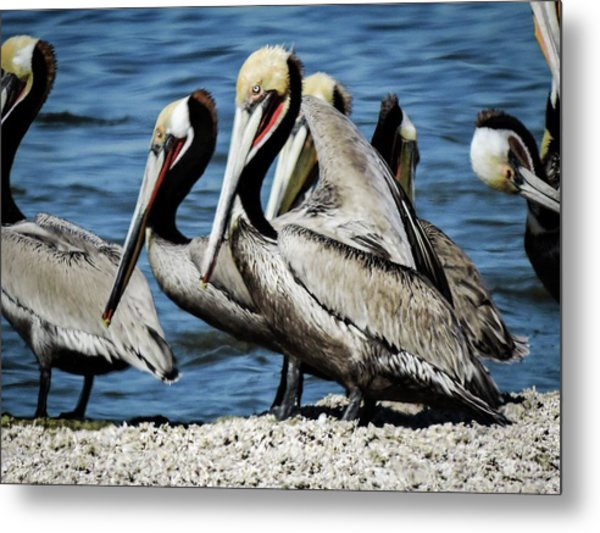 Brown Pelicans Preening Metal Print