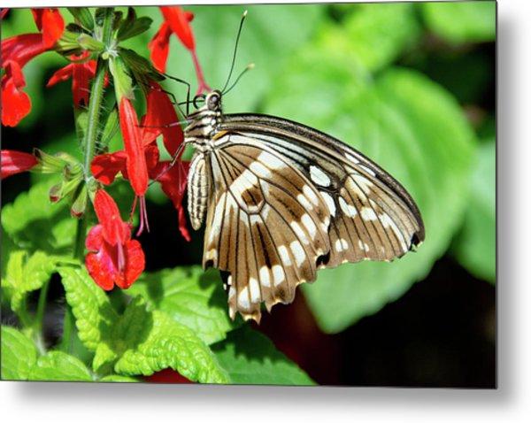 Brown Swallowtail Butterfly Metal Print