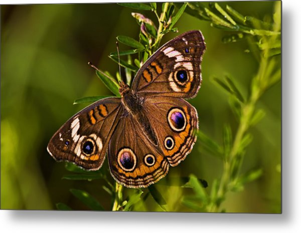 Buckeye Butterfly Metal Print by Michael Whitaker