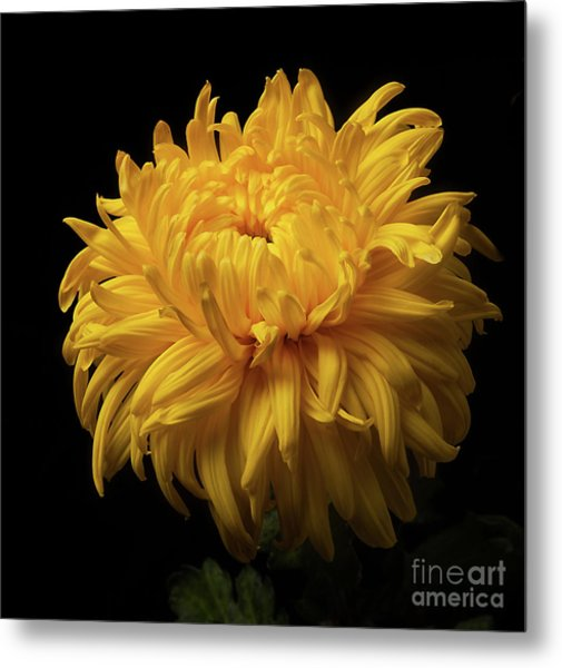 Bud Opening-chrysanthemum 'allison Peace Metal Print