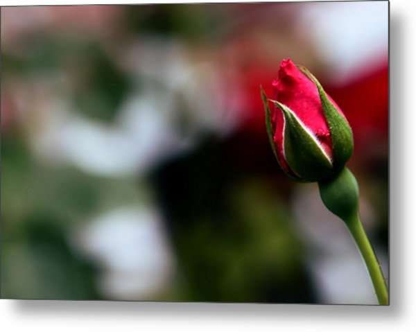 Budding Rose Metal Print