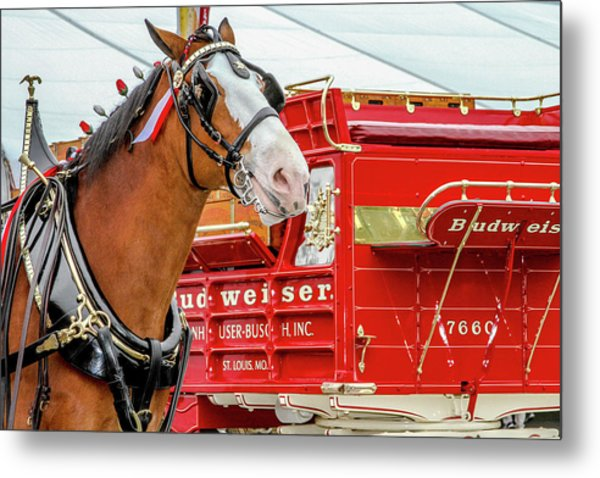 Budweiser Clydesdale In Full Dress Metal Print