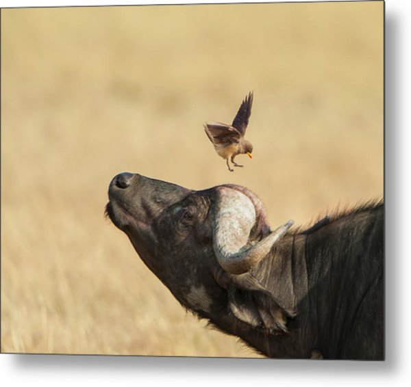 Buffalo And Oxpecker Bird Metal Print