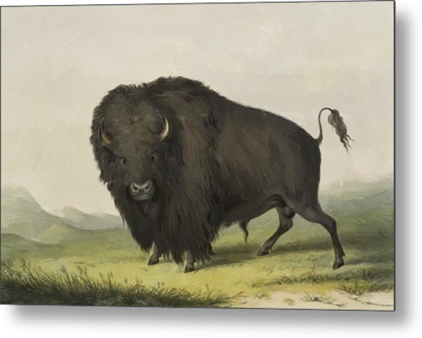 Buffalo Bull Grazing 1845 Metal Print