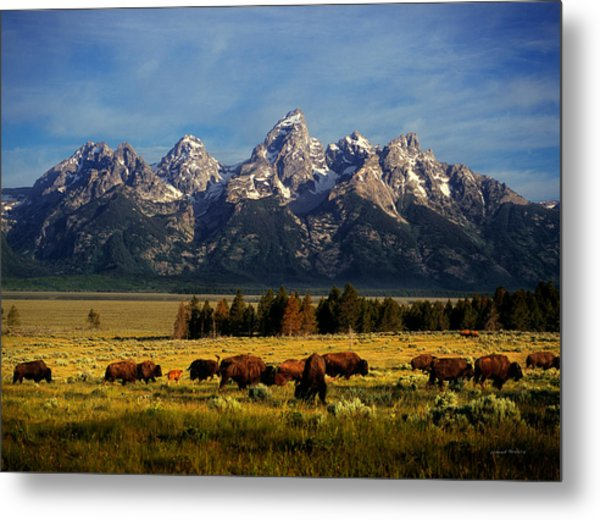 Buffalo Under Tetons Metal Print
