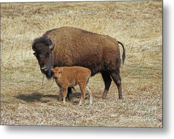 Buffalo With Newborn Calf Metal Print