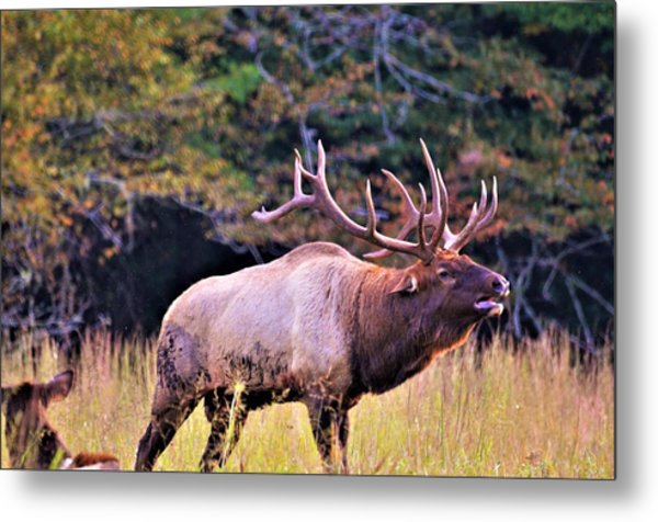 Bull Calling His Herd Metal Print