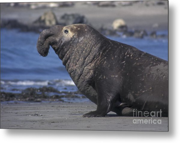 Bull Elephant Seal Metal Print by Stan and Anne Foster
