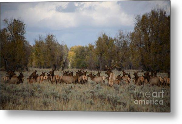Bull Elk And Harem Metal Print