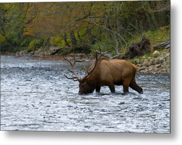 Bull Elk Crossing The River Metal Print