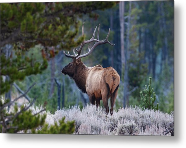 Bull Elk In Forest Metal Print