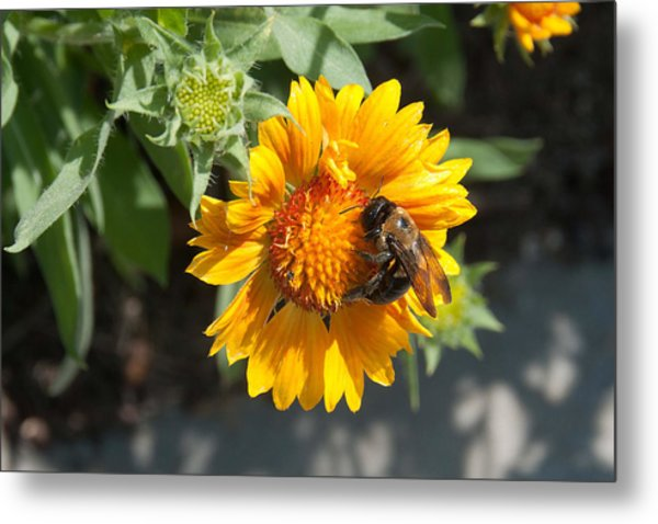 Bumble Bee Collecting Pollen On Sunflower Metal Print