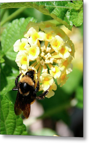 Bumble Bee On Yellow Flowers Metal Print