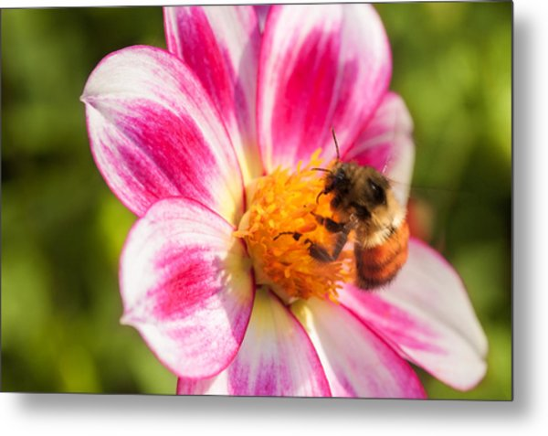 Bumble Bee Pollination Metal Print