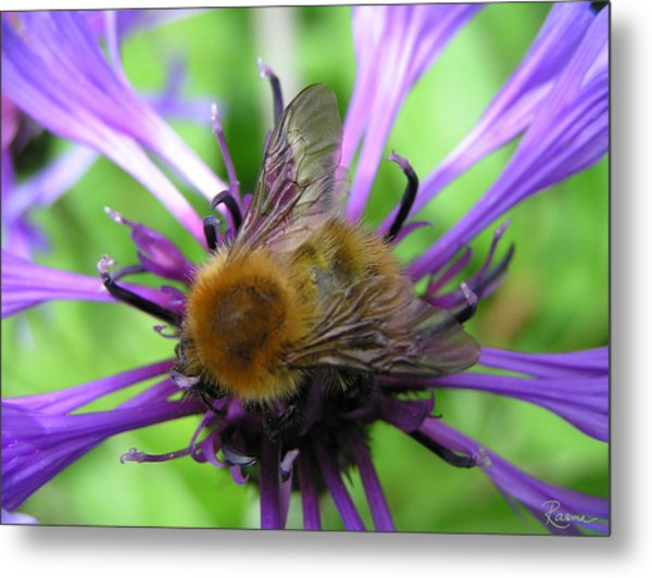 Bumblebee In Blue Metal Print